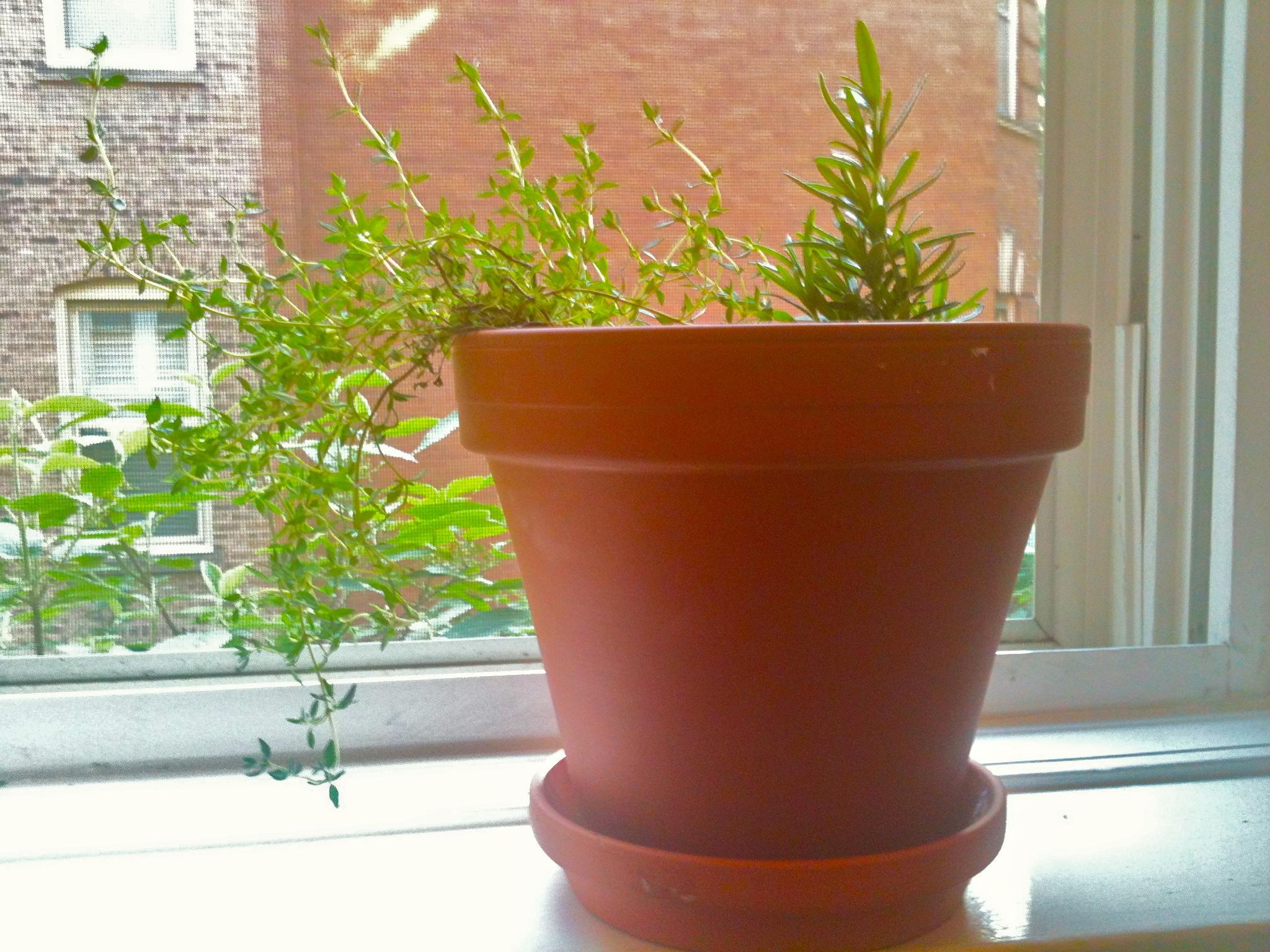 Windowsill Herb Garden and Garlic Thyme Olive Oil. – KellyintheKitchen